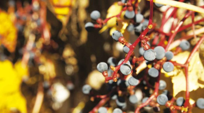 Un pied de vigne avec du raisin